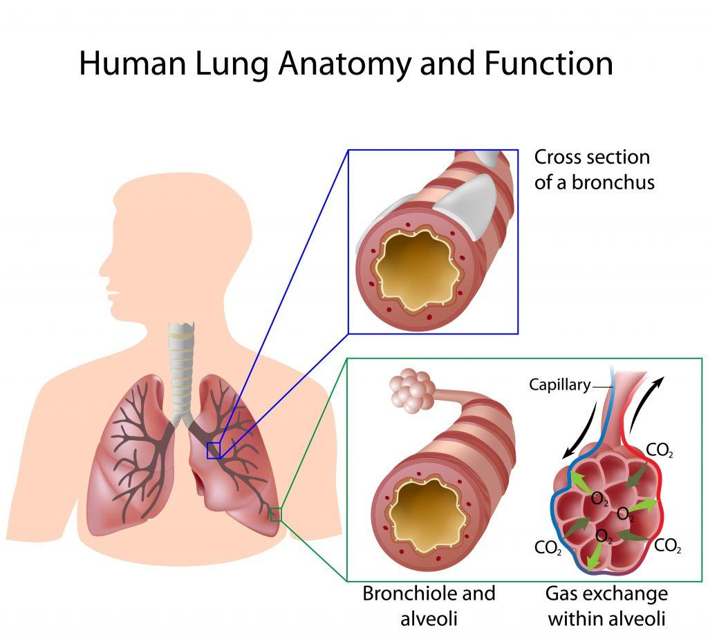 keuhkojen anatomia